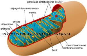 400px-Animal_mitochondrion_diagram_pt.svg