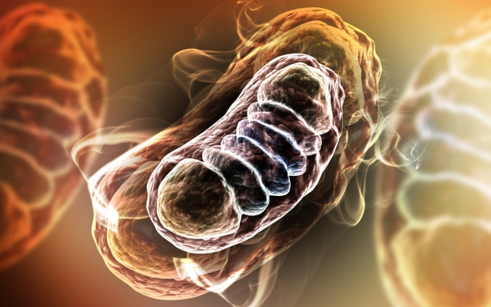 mitocrondria